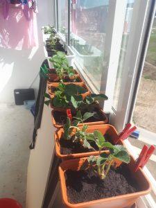Клубника на балконе или огород круглый год